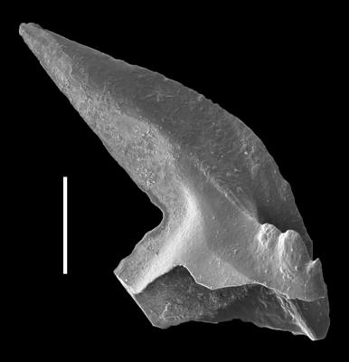 Phragmodus polonicus Dzik, 1978, GIT 654-38