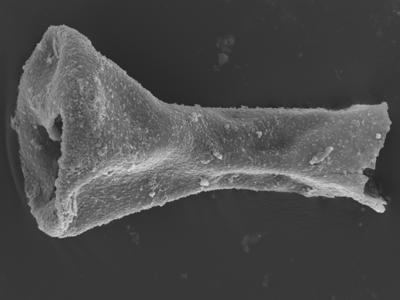 <i><i>Sphaerochitina concava</i> | Sphaerochitina cf. concava</i><br />Ohesaare borehole, 165.35 m, Jaagarahu Stage ( 754-326)