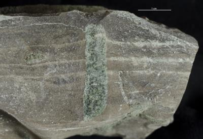 Thalassinoides isp., GIT 362-275