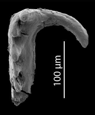 Skalenoprion sp. 1, GIT 724-66