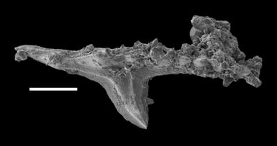 Pterospathodus pennatus procerus (Walliser, 1964), GIT 598-2