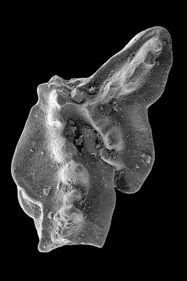 Amorphognathus tvaerensis Bergström, 1962, GIT 449-2