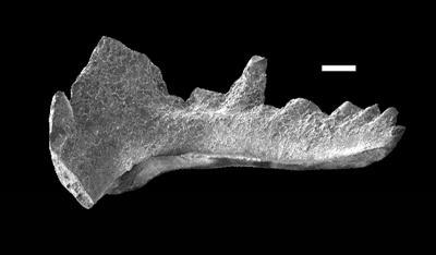 Aulacognathus cf. antiquus Bischoff, GIT 738-1