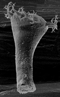 <i><i>Ancyrochitina laevaensis</i></i><br />Laeva 10 borehole, 122.50 m, Juuru Stage ( 212-1)