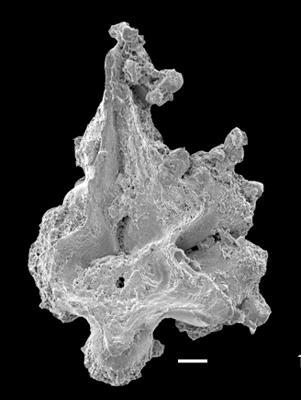 Apsidognathus cf. milleri (Over et Chatterton, 1987), GIT 551-50