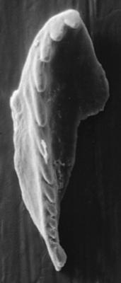 <i>Polychaetura gracilis Kozlowski, 1956</i><br />Apraksin Bor 17 borehole, Leningrad Oblast, 104.15 m, Keila Stage