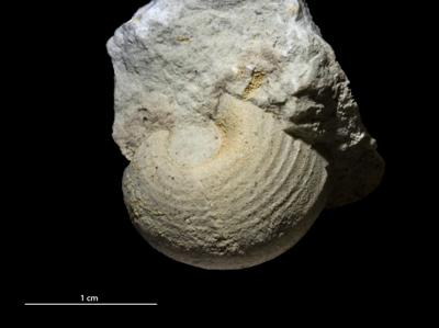 Bellerophontida