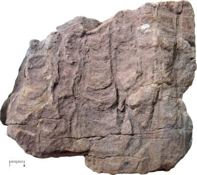 Corophioides helmerseni Öpik, 1929, TUG 1144-1