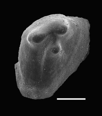 Pseudooneotodus tricornis Drygant, 1974, GIT 566-23