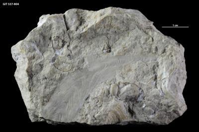 Ptilodictya flabellata Eichwald, 1860, GIT 537-804