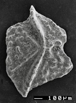 Apsidognathus tuberculatus ssp. n. 2 Männik, 2007, GIT 511-1