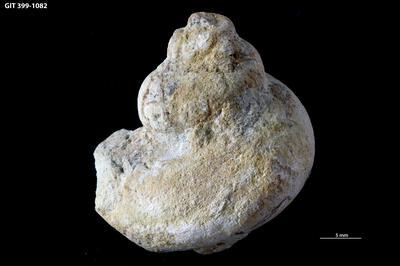 Halopoa sp., GIT 399-1082