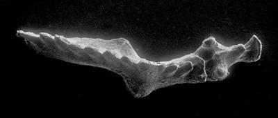 Icriognathus cornutus sp. n., GIT 252-1
