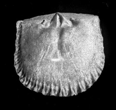 Glossorthis tacens Öpik, 1930, TUG 1054-31