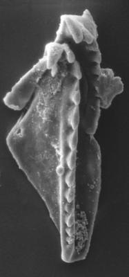 Polychaetaspis gadomskae Kielan-Jaworowska, 1966, GIT 159-21