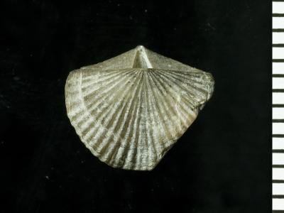 Skenidioides hymiri Baarli, 1995, GIT 128-43