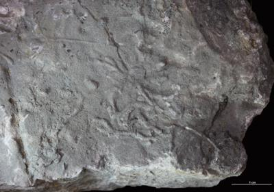 Chondrites isp., GIT 362-498