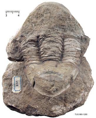 Illaenus tauricornis Kutorga, 1848, TUG 860-1285