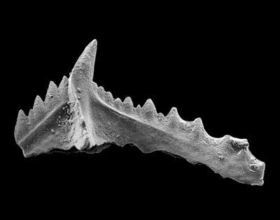 Baltoniodus variabilis (Bergström, 1962), GIT 449-24
