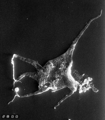 Polygonium sexiradiatum (Timofeev, 1959) Volkova, 1990, TUG 1528-33