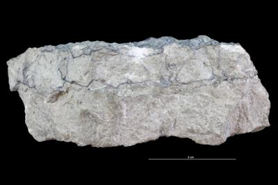 Balanoglossites isp., GIT 362-613