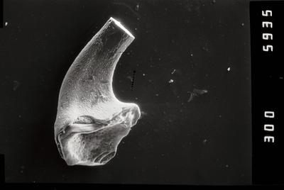 Variabiloconus sp., GIT 796-60