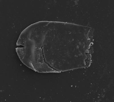 <i><i>Bursachitina nestorae</i></i><br />Ventspils D-3 borehole, 814.00 m, Telychian ( 754-1352)