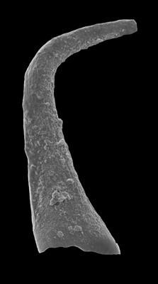 Scalpellodus gracilis (Sergeeva, 1974), GIT 594-47