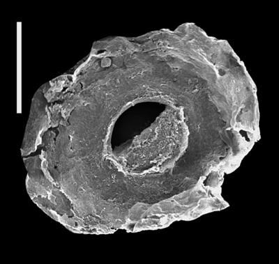 <i><i>Pterochitina perivelata</i></i><br />Ohesaare borehole, 66.90 m, Kaugatuma Stage ( 607-26)