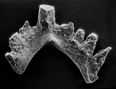Ozarkodina excavata puskuensis Männik, 1994, GIT 254-13