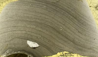 Densastroma pexisum (Yavorsky, 1929), GIT 333-83