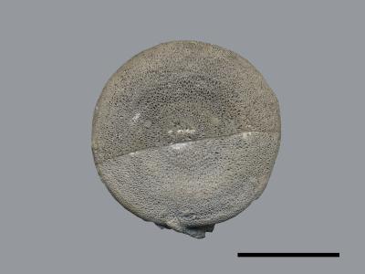 Monticuliporidae