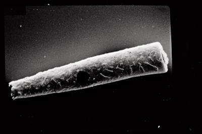 <i><i>Conochitina claviformis</i></i><br />Ohesaare borehole, 183.00 m, Jaagarahu Stage ( 754-204)