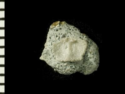 Ranorthis parvula Rubel, 1961, GIT 125-8