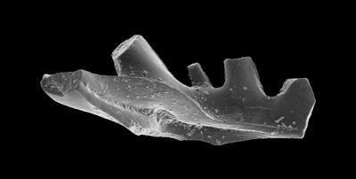 Aspelundia expansa Armstrong, 1990, GIT 301-27