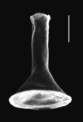 <i><i>Cyathochitina giraffa</i></i><br />Piilsi 729 borehole, 118.12 m, Haljala Stage ( 664-12)