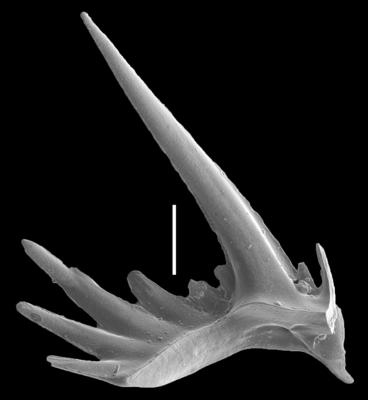 Erraticodon balticus Dzik, 1978, GIT 654-37
