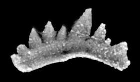 Ozarkodina excavata excavata (Branson et Mehl, 1933), GIT 132-15