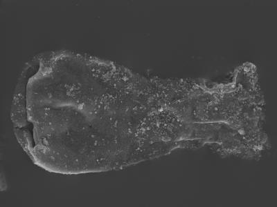 <i><i>Linochitina odiosa</i></i><br />Kolka 54 borehole, 492.60 m, Jaagarahu Stage ( 754-450)