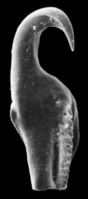 <i>Atraktoprion mirabilis Kielan-Jaworowska, 1966</i><br />Rapla borehole, 108.15 m, Nabala Stage