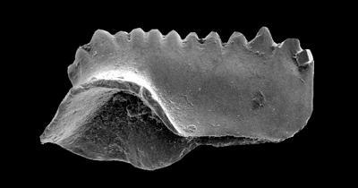 Kockelella ranuliformis (Walliser, 1964), GIT 555-61