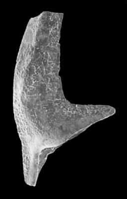 Tripodus cf. laevis Bradshaw, 1969, GIT 342-15