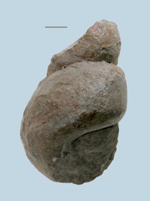 Murchisonia insignis Eichwald, ELM G8:824