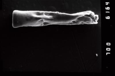 <i><i>Conochitina claviformis</i></i><br />Ohesaare borehole, 68.30 m, Kuressaare Stage ( 754-968)