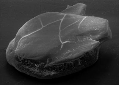 Goniporus alatus (Gross, 1947), GIT 232-396