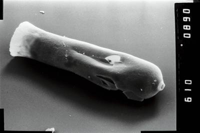 <i><i>Conochitina</i> | Conochitina aff. proboscifera</i><br />Vängla trench,  m, Adavere Stage ( 754-1944)