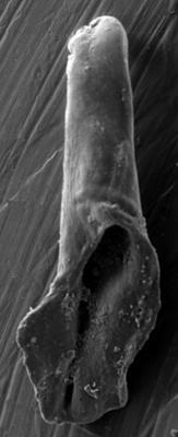 <i>Ramphoprion peterburgensis Hints, 1998</i><br />Apraksin Bor 17 borehole, Leningrad Oblast, 122.15 m, Jõhvi Substage