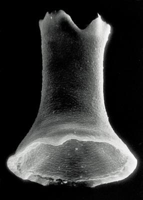 <i><i>Cyathochitina regnelli</i></i><br />Rapla borehole, 188.40 m, Kunda Stage ( 190-27)