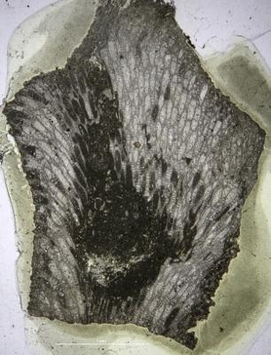 Batostoma granulosum Bassler, 1911, GIT 537-427