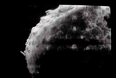 <i><i>Angochitina longicollis</i></i><br />Varbla 502 borehole, 132.10 m, Adavere Stage ( 754-100)